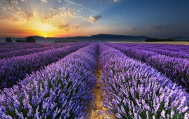 10 PLACES TO SEE LAVENDER FIELDS ON EVERY CONTINENT